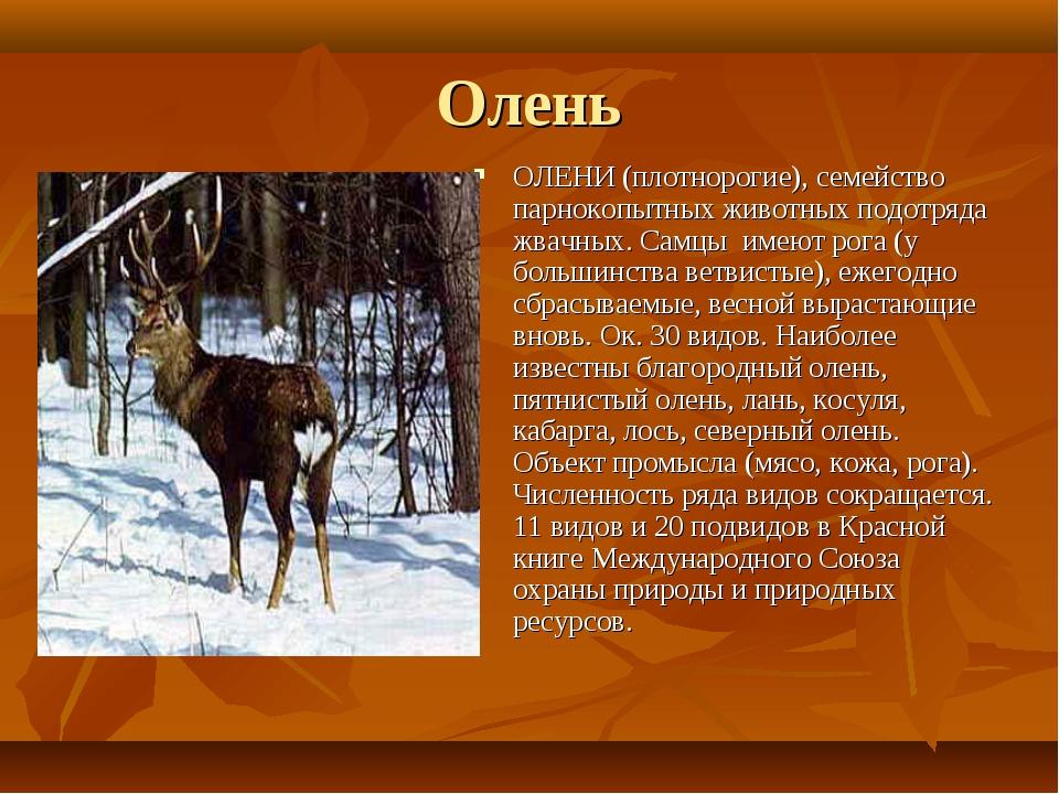 Олень ОЛЕНИ (плотнорогие), семейство парнокопытных животных подотряда жвачных...