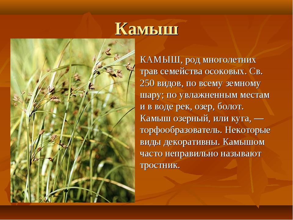 Камыш КАМЫШ, род многолетних трав семейства осоковых. Св. 250 видов, по всему...