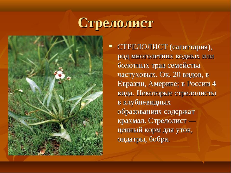 Стрелолист СТРЕЛОЛИСТ (сагиттария), род многолетних водных или болотных трав...