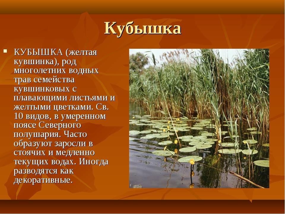 Кубышка КУБЫШКА (желтая кувшинка), род многолетних водных трав семейства кувш...