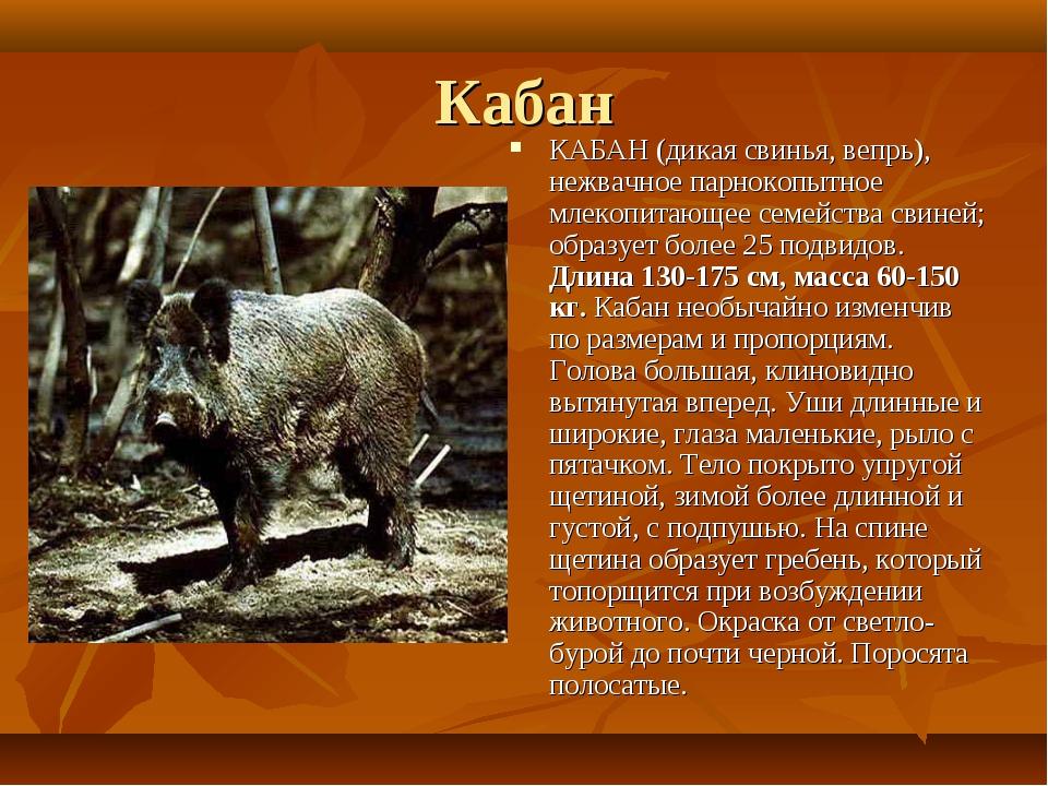 Кабан КАБАН (дикая свинья, вепрь), нежвачное парнокопытное млекопитающее семе...