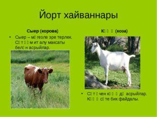 Йорт хайваннары Сыер (корова) Сыер – мөгезле эре терлек. Сөт һәм ит алу макса