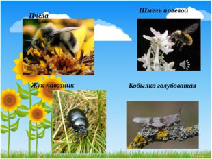 Шмель полевой Жук навозник Кобылка голубоватая Пчела