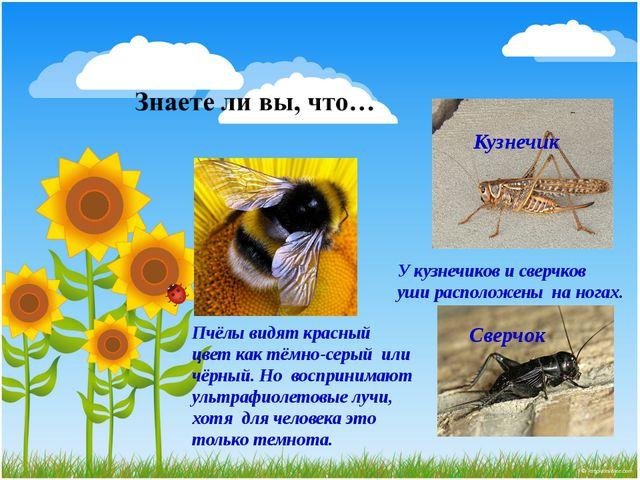 Кузнечик Сверчок У кузнечиков и сверчков уши расположены на ногах. Пчёлы видя...