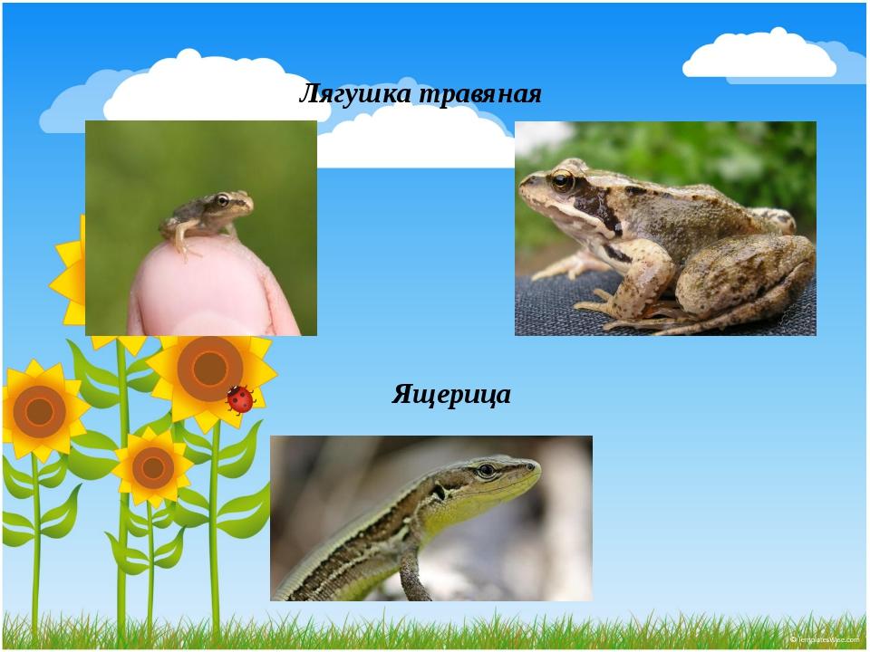Лягушка травяная Ящерица
