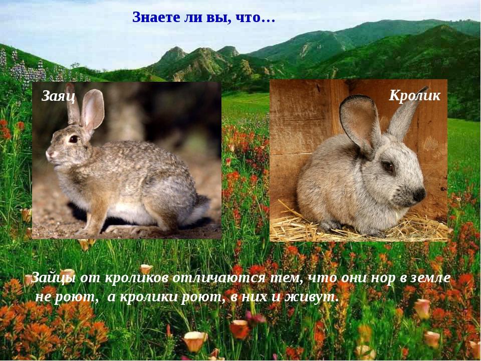 Заяц Кролик Знаете ли вы, что… Зайцы от кроликов отличаются тем, что они нор...