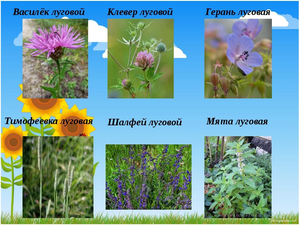 Луговые растения фото и названия с описанием