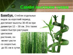 Самая высокая трава Бамбук. Стебли отдельных видов за короткий период достига