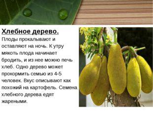 Хлебное дерево. Плоды прокалывают и оставляют на ночь. К утру мякоть плода на