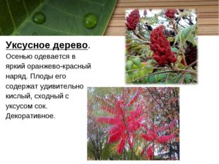 Уксусное дерево. Осенью одевается в яркий оранжево-красный наряд. Плоды его с
