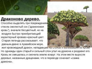 """Драконово дерево. Способно выделять при повреждениях ствола смолистый сок (""""д"""