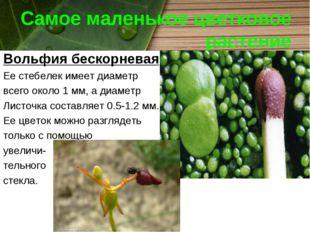 Самое маленькое цветковое растение Вольфия бескорневая Ее стебелек имеет диам