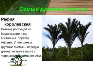 Самые длинные листья Рафия королевская Пальма растущей на Мадагаскаре и на во