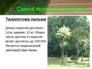 Самое крупное соцветие Талипотова пальма Длина соцветия достигает 14 м, ширин