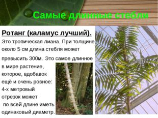 Самые длинные стебли Ротанг (каламус лучший). Это тропическая лиана. При толщ