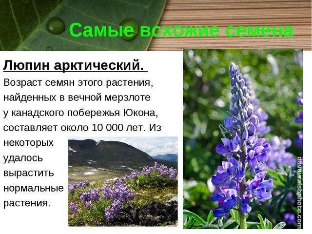 Самые всхожие семена Люпин арктический. Возраст семян этого растения, найденн...