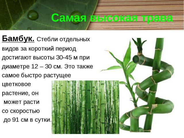 Самая высокая трава Бамбук. Стебли отдельных видов за короткий период достига...