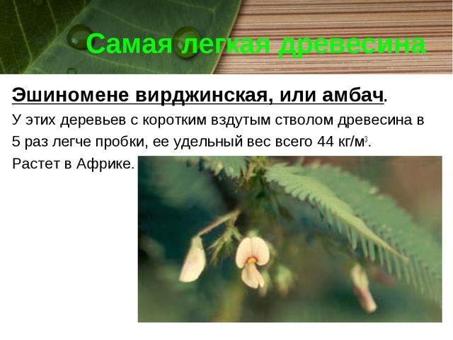 Самая легкая древесина Эшиномене вирджинская, или амбач. У этих деревьев с ко...