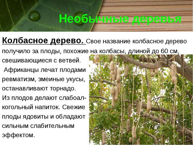 Необычные деревья Колбасное дерево. Свое название колбасное дерево получило з...