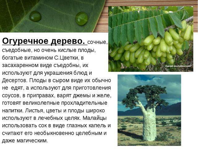 Огуречное дерево. сочные, съедобные, но очень кислые плоды, богатые витамином...