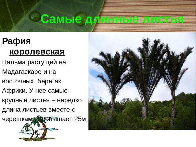 Самые длинные листья Рафия королевская Пальма растущей на Мадагаскаре и на во...