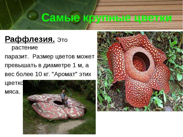 Самые крупные цветки Раффлезия. Это растение паразит. Размер цветов может пре...