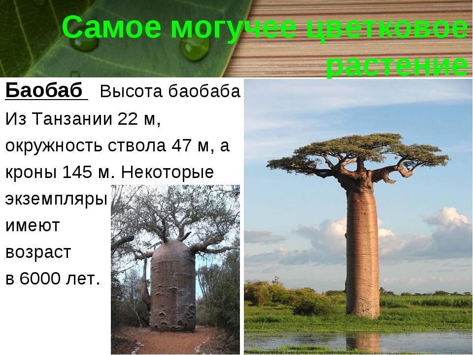 Самое могучее цветковое растение Баобаб Высота баобаба Из Танзании 22 м, окру...