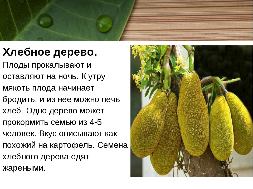Хлебное дерево. Плоды прокалывают и оставляют на ночь. К утру мякоть плода на...