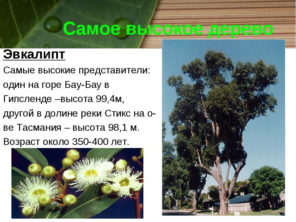 Самое высокое дерево Эвкалипт Самые высокие представители: один на горе Бау-Б...