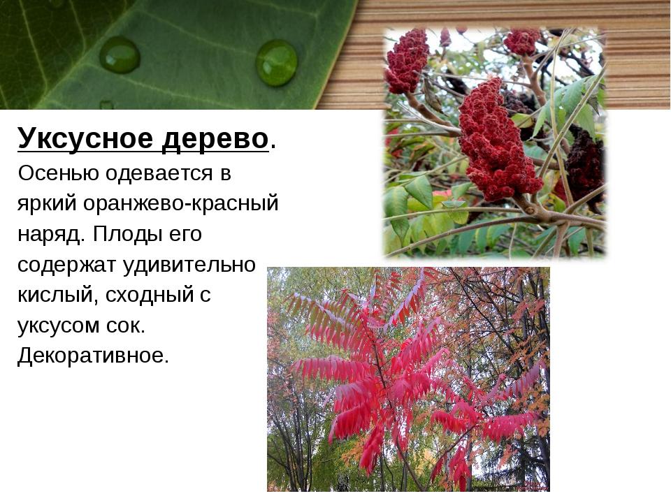 Уксусное дерево. Осенью одевается в яркий оранжево-красный наряд. Плоды его с...