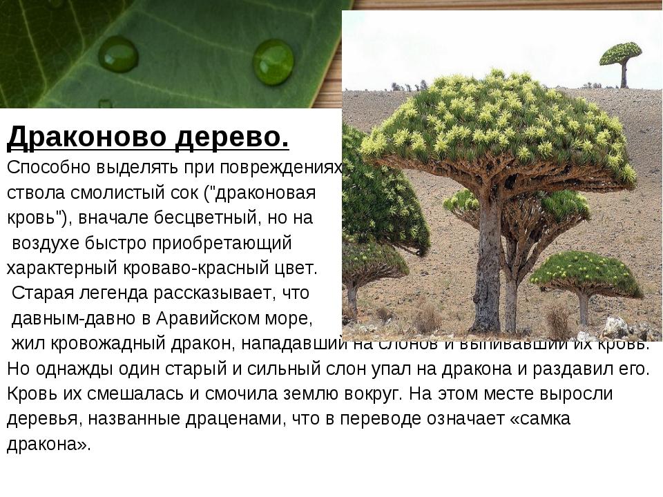 """Драконово дерево. Способно выделять при повреждениях ствола смолистый сок (""""д..."""