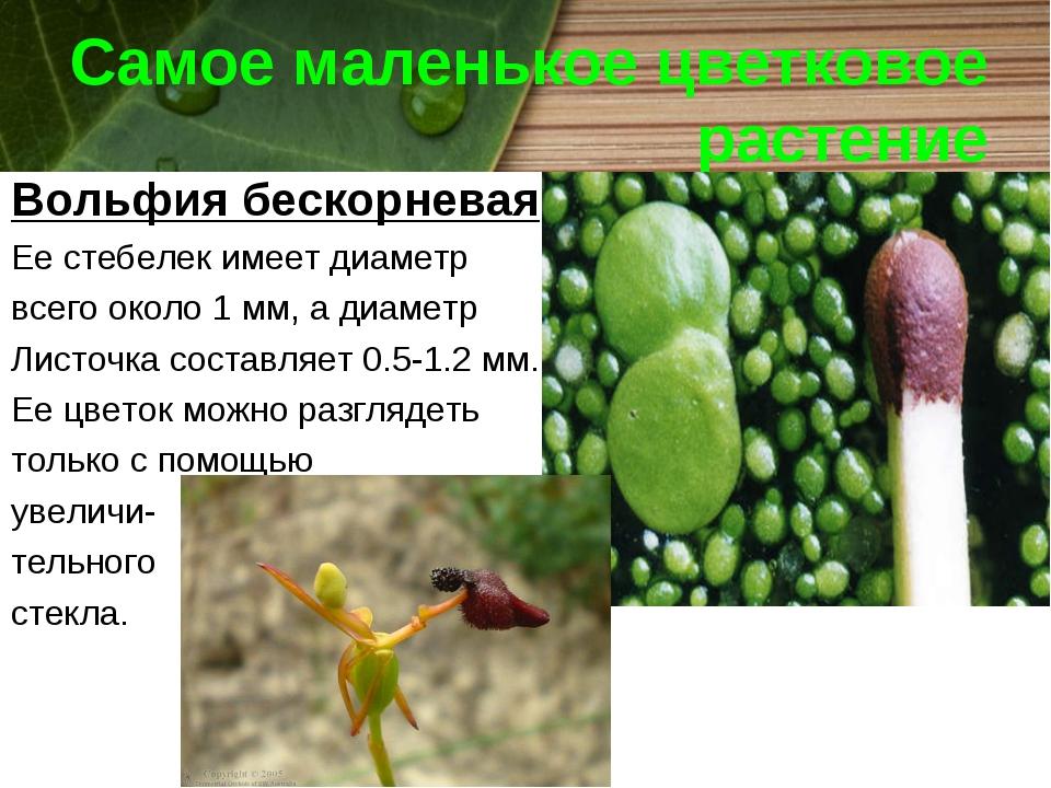 Самое маленькое цветковое растение Вольфия бескорневая Ее стебелек имеет диам...