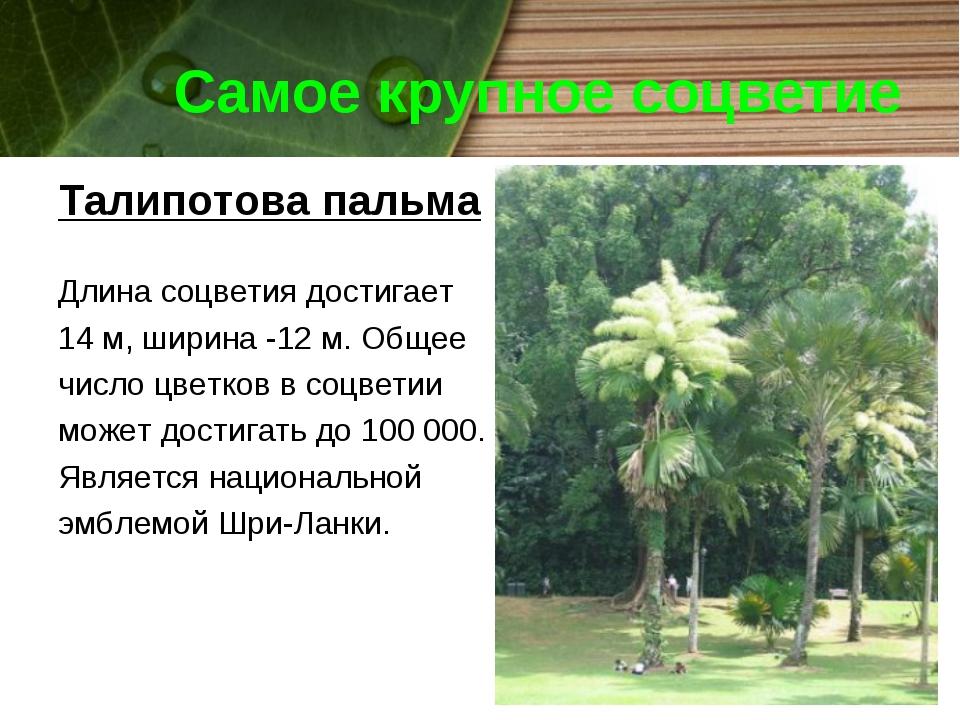 Самое крупное соцветие Талипотова пальма Длина соцветия достигает 14 м, ширин...