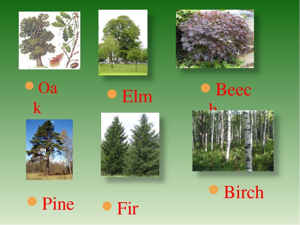 Beech Oak Elm Birch Pine Fir