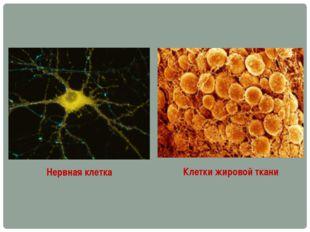 Нервная клетка Клетки жировой ткани