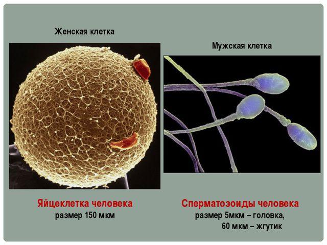 Яйцеклетка человека размер 150 мкм Сперматозоиды человека размер 5мкм – голов...