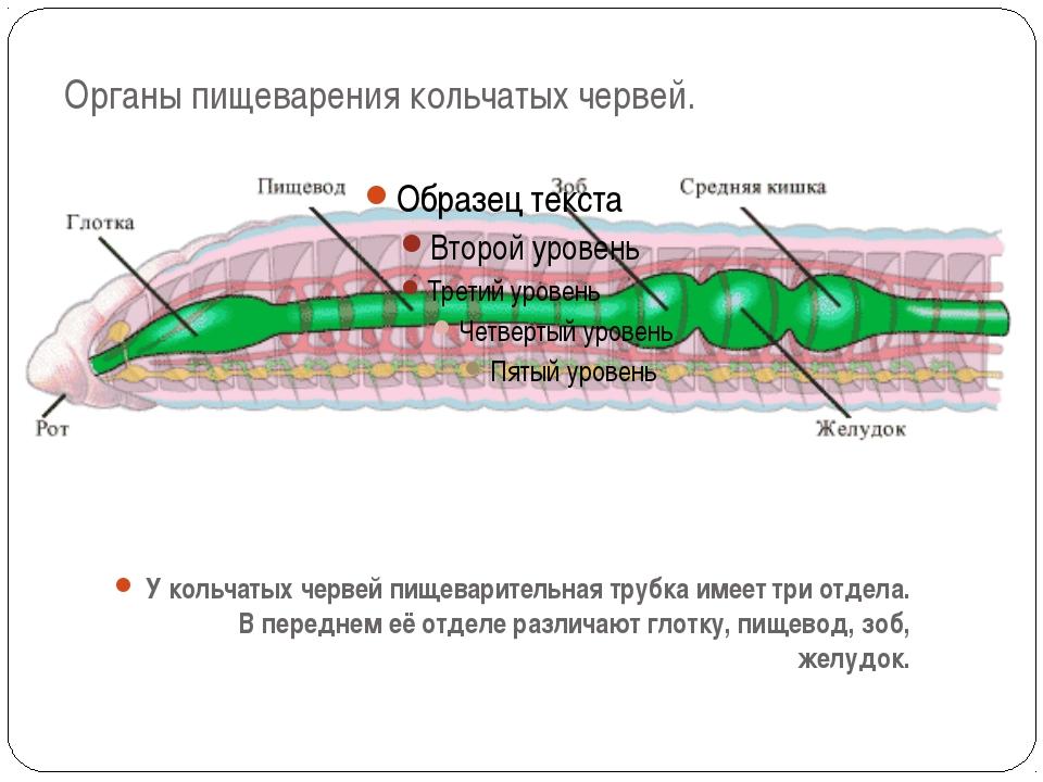 Органы пищеварения кольчатых червей. У кольчатых червей пищеварительная трубк...