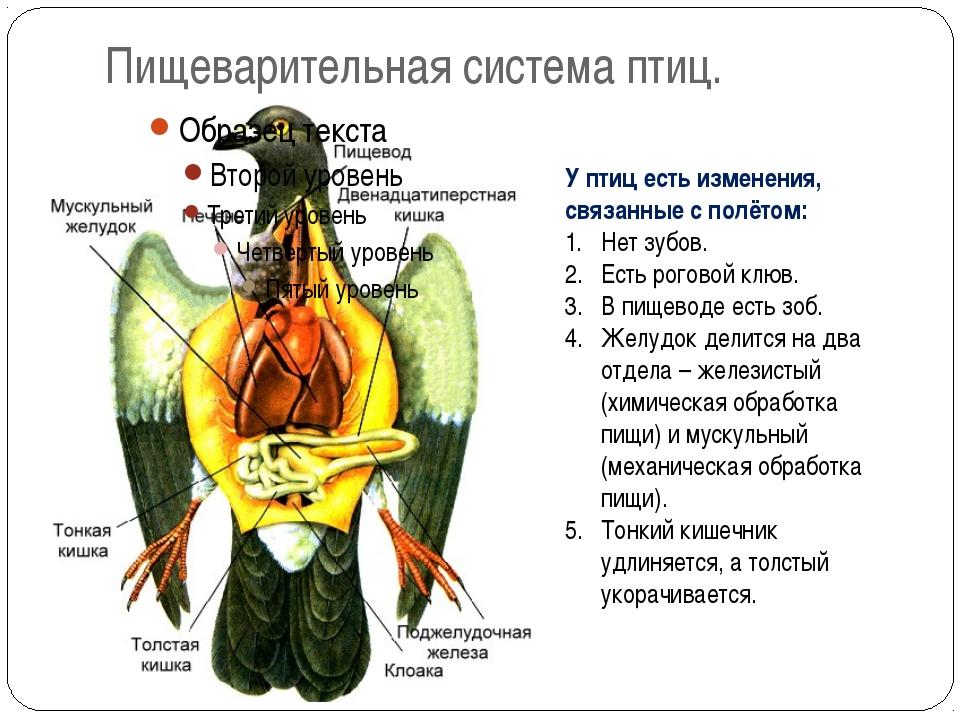 Пищеварительная система птиц. У птиц есть изменения, связанные с полётом: Нет...