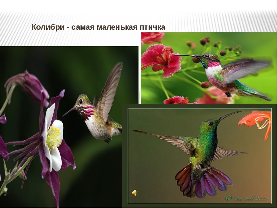 Колибри - самая маленькая птичка