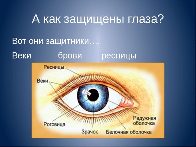 А как защищены глаза? Вот они защитники…. Веки брови ресницы