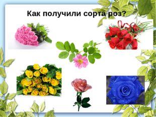 Как получили сорта роз?