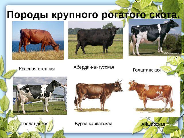 Породы крупного рогатого скота. Красная степная Голштинская Голландская Айшир...