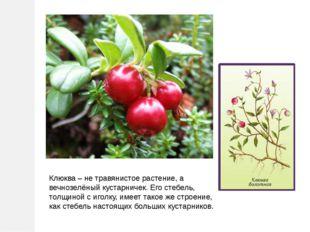 Клюква – не травянистое растение, а вечнозелёный кустарничек. Его стебель, то