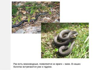Раз есть земноводные, появляются их враги – змеи. В наших болотах встречаются