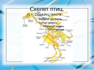Скелет птиц.