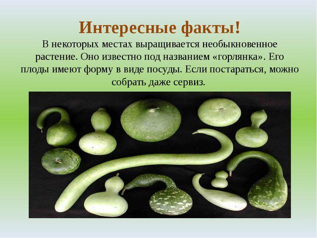 Интересные факты! В некоторых местах выращивается необыкновенное растение. Он...