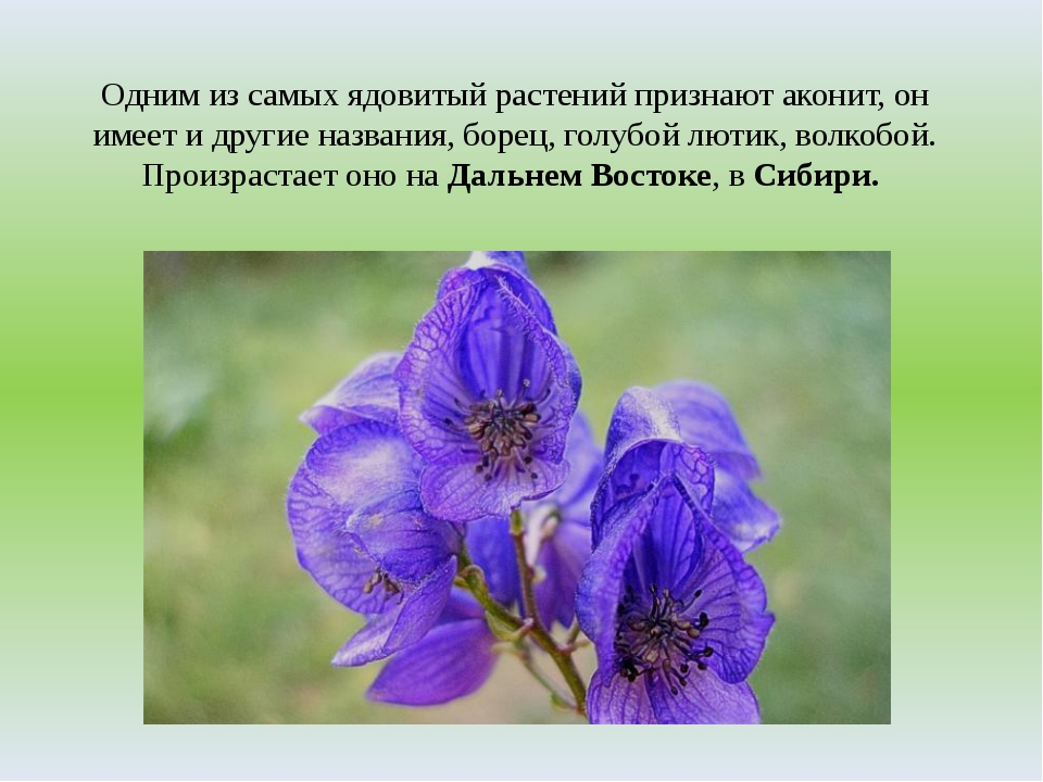 Одним из самых ядовитый растений признают аконит, он имеет и другие названия,...