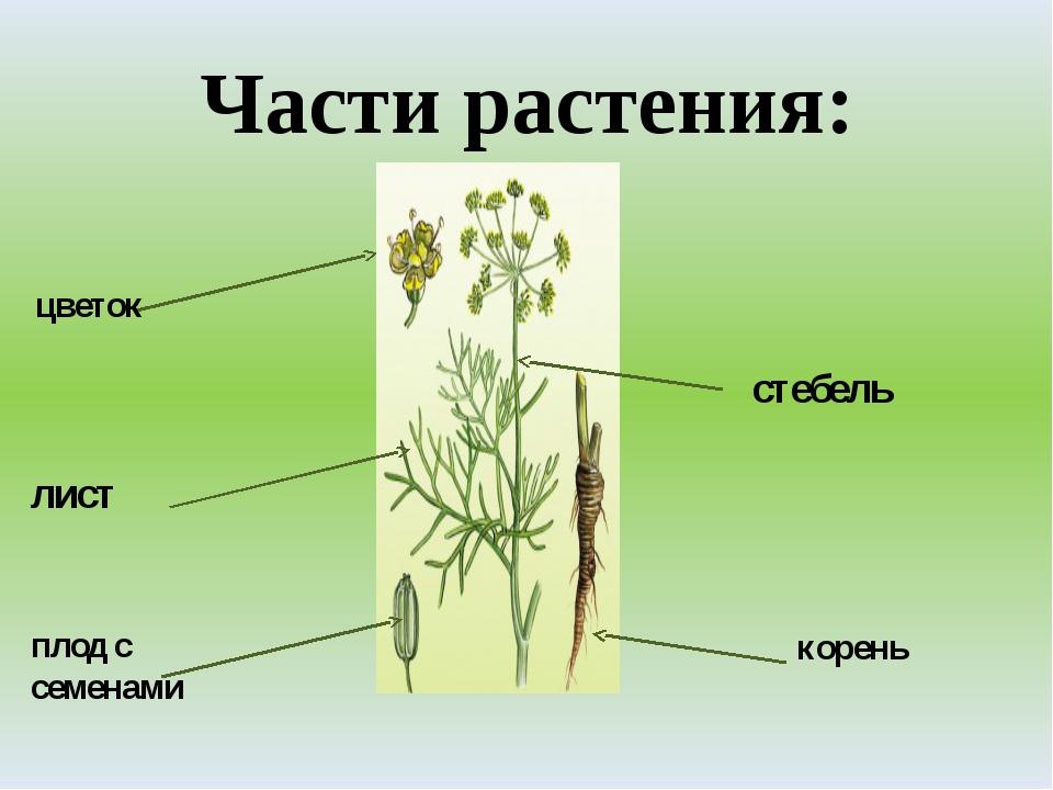 Части растения: корень стебель плод с семенами лист цветок