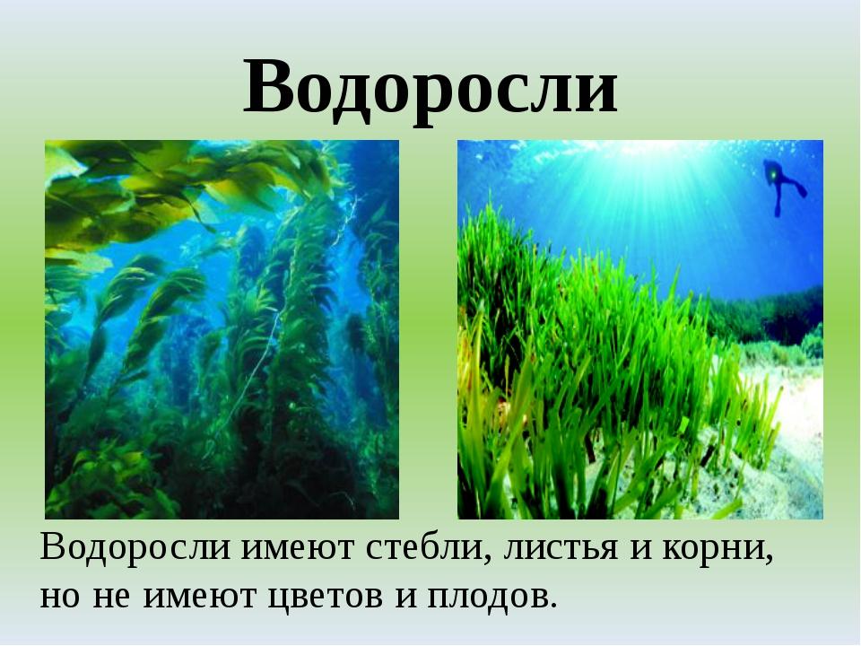 Водоросли Водоросли имеют стебли, листья и корни, но не имеют цветов и плодов.