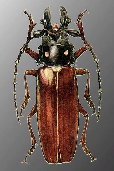 http://www.zin.ru/animalia/coleoptera/images/calrel.jpg